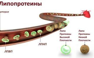Липопротеиды: значение, диагностика, виды и нормы ЛПВП, ЛПНП, ЛПОНП