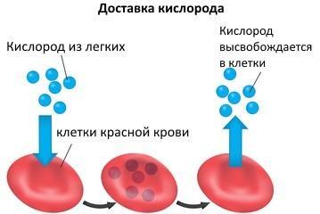 схема доставка кислорода эритроцитами