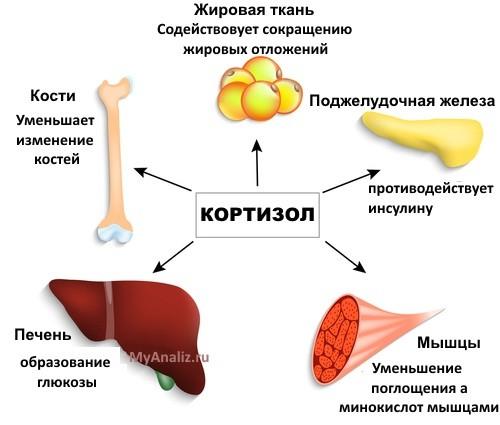 влияние кортизола на человека, схема