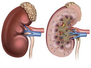 Мочевина в крови: что это такое, норма в анализе, причины и симптомы повышения