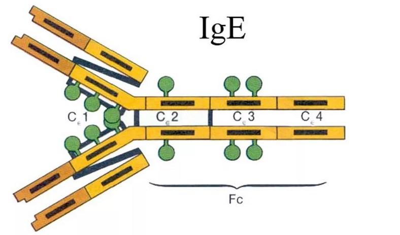 Общий (суммарный) иммуноглобулин Е, IgE