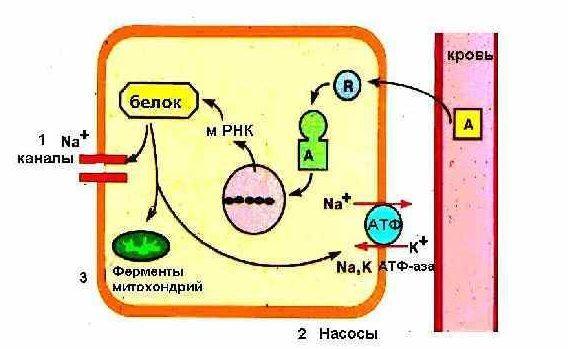 Анализы крови на гормоны надпочечников