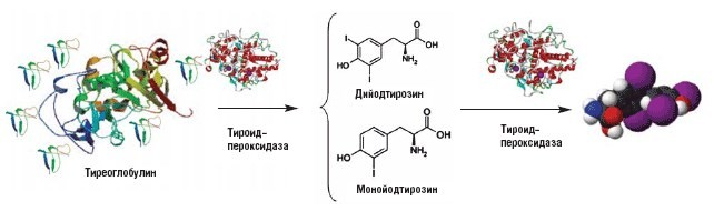 Антитела к тиреопероксидазе (АТ ТПО)