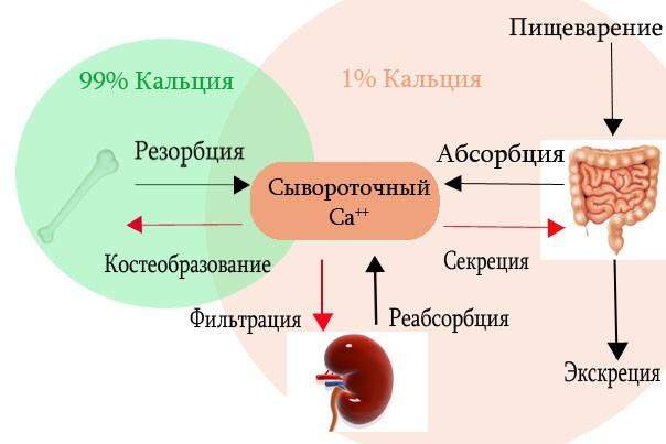 сывороточный кальций в организме человека