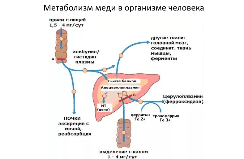 Медь (Cu) в сыворотке крови