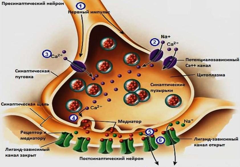 Холинэстераза в крови