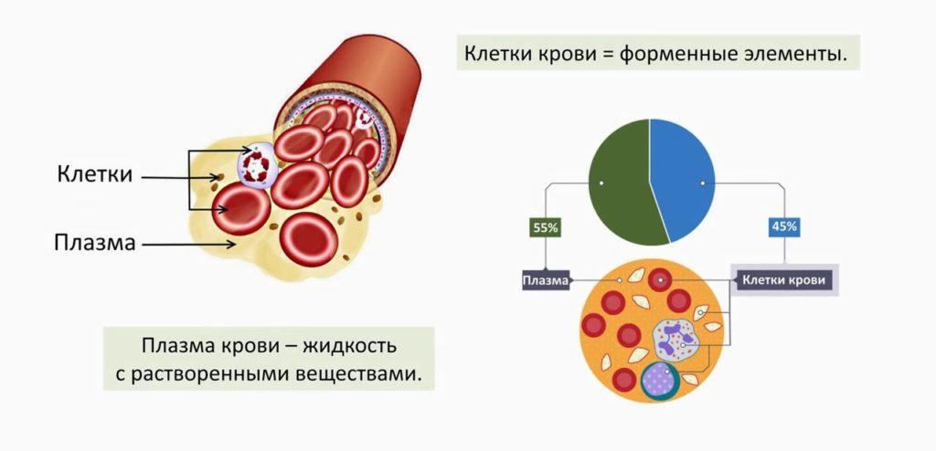 Нормобласты в общем анализе крови – что это?